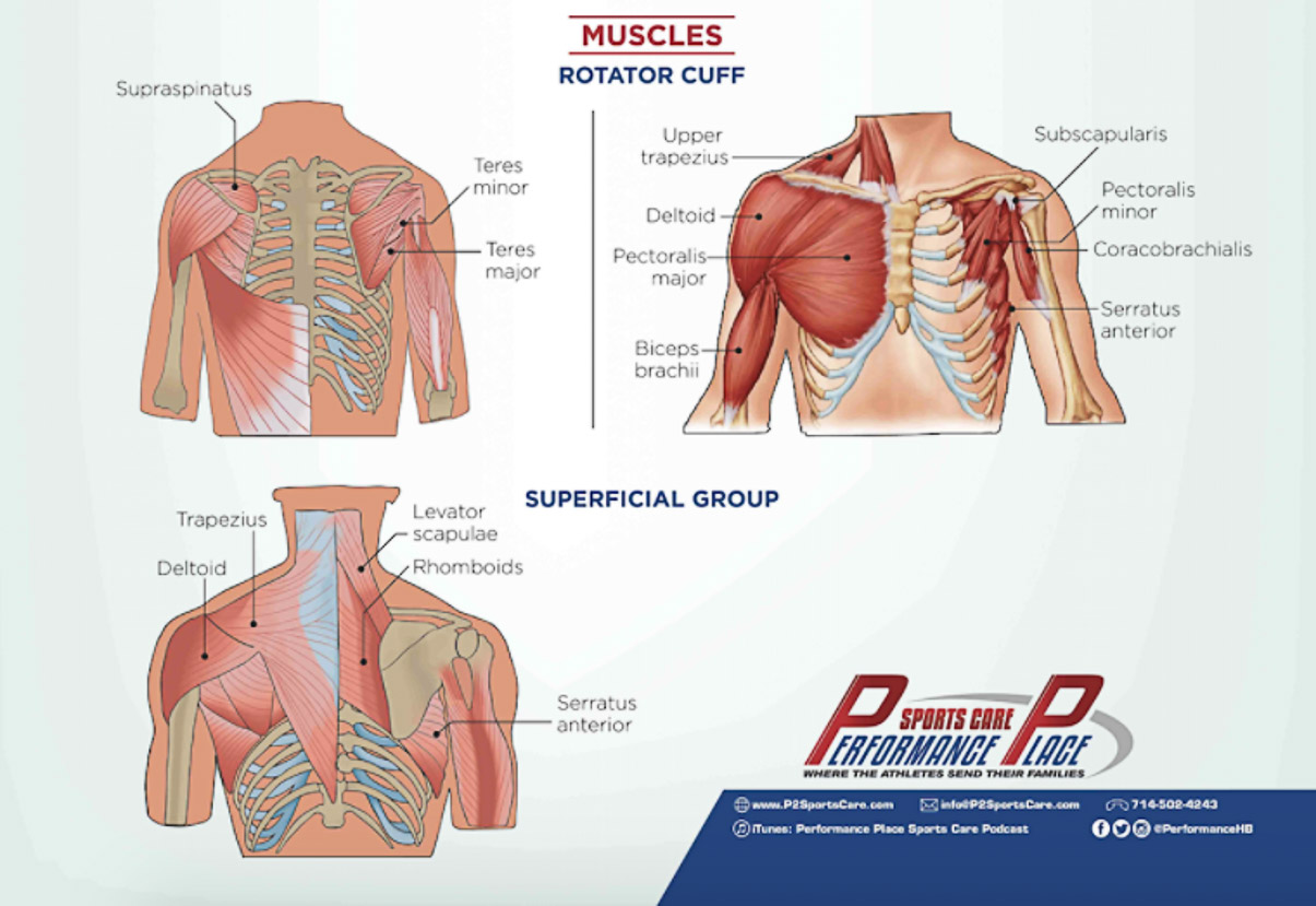 Shoulder Anatomy Poster Frank Netters Inspired