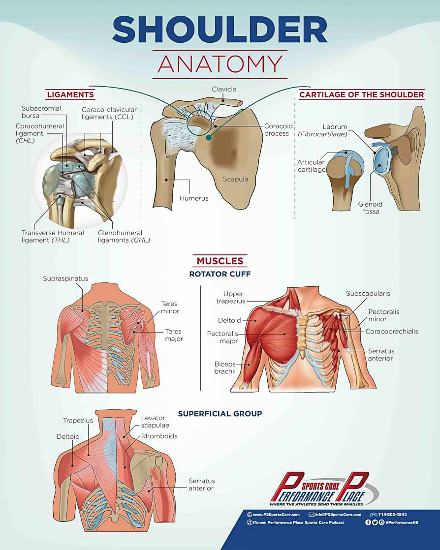 Shoulder Anatomy Poster
